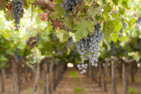 Pasas de uvas y el buen consumo de la uva