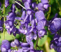 Propiedades y beneficios del Aconito Napellus y el Acoro Aromatico