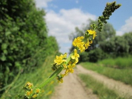 Propiedades y beneficios Agrimonia Eupatoria y Ajenjo
