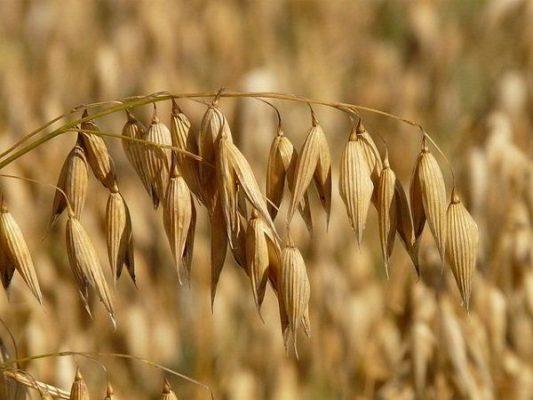 Propiedades y beneficios de la Adormidera, Avena y Azafrán