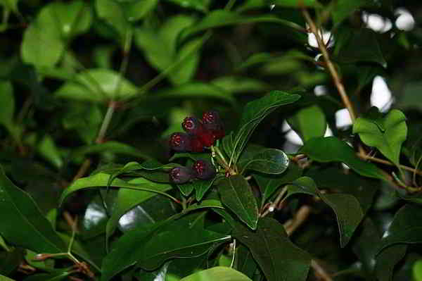 Beneficios y propiedades del Clavo de Especia y la Coca