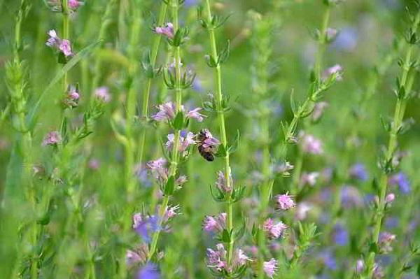 Propiedades y beneficios del Hinojo, Hisopo e Iris