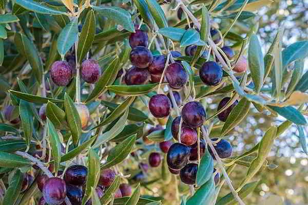 Propiedades y beneficios de la Nepeta, Olivo y el Olmo