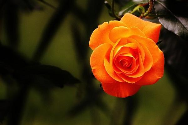 Propiedades y beneficios de la Rosa y la Rosa Roja