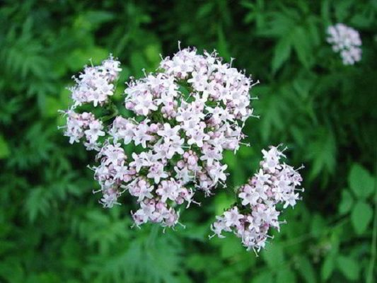 Propiedades y beneficios la Utricular y la Valeriana