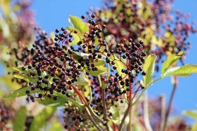 Bebidas y Plantas medicinales, recetas sanas para adelgazar