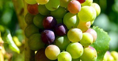 Conociendo un poco del vino y las uvas