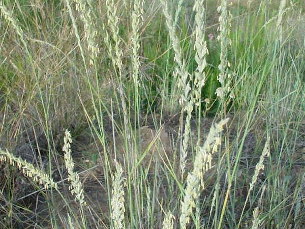 Propiedades de la genciana, globularia, gordolobo, grama de las boticas y granza
