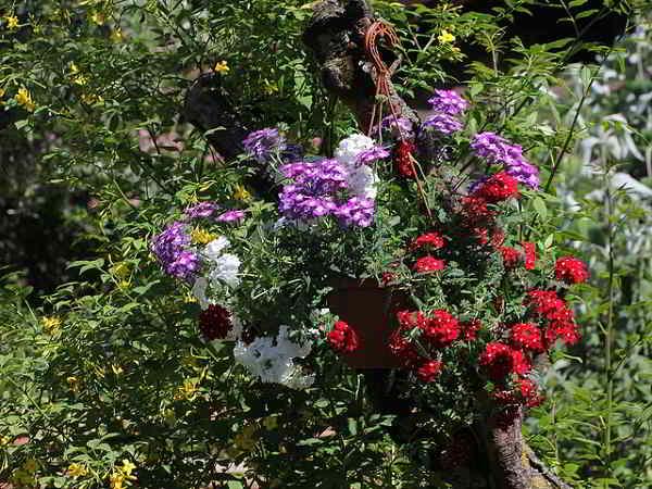 Propiedades y beneficios la Vellosilla y la Verbena