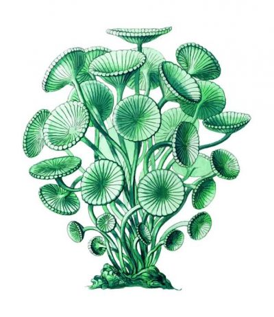 La espirulina son unas algas azules