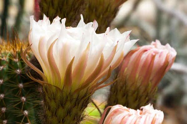 Propiedades del espino blanco, espirea, eucalipto y faramogo