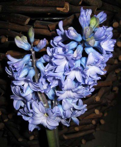 El jacinto doble elimina las incapacidades anímicas