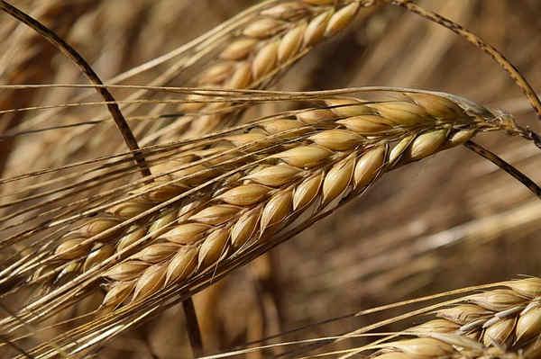 Propiedades del trigo, centeno, cebada y avena