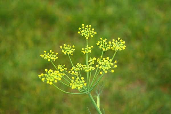 Propiedades de la hierba cana, hierva de san roberto, hinojo, hisopo y la janobera