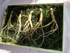 La medicina china usa el ginseng desde hace miles de años