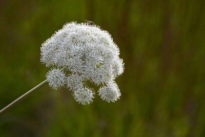 La planta angélica tiene la propiedad de ayudar en el amor