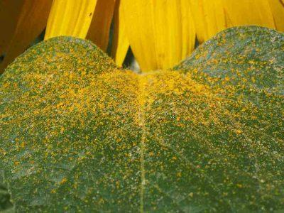El polen es útil para muchos sintomas