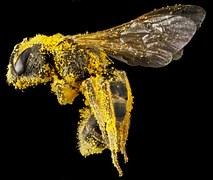 El polen tiene distintas formas de recogerse