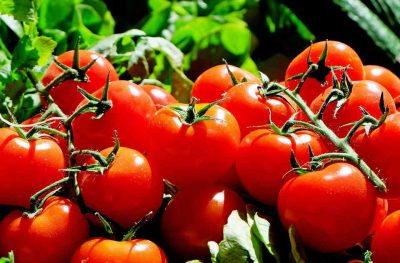 Los tomates se conocen en Europa desde hace siglos