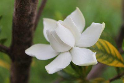 La gardenia crea un escudo contra la maldad del otro
