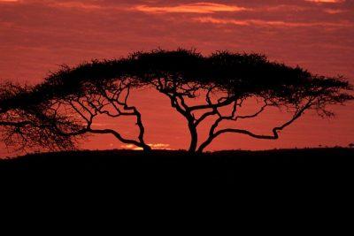 La acacia tiene la virtud de detener el deseo de ganar a toda costa