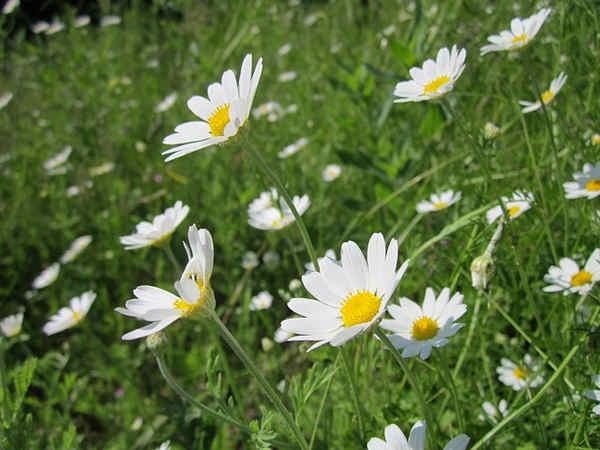 Plantas medicinales para los ojos, nariz, boca y orejas