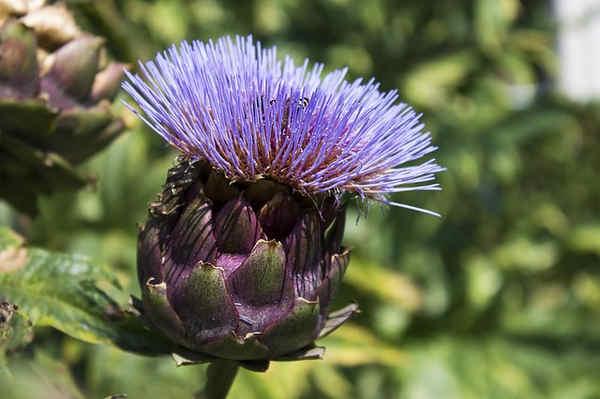 Plantas medicinales para el cuello y estomago