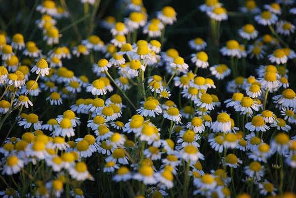 Plantas medicinales para enfermedades virales y otras afecciones del cuerpo
